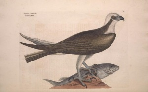 Catesby's osprey. 1731. Source: Biodiversity Heritage Library, http://biodiversitylibrary.org/page/40753123.